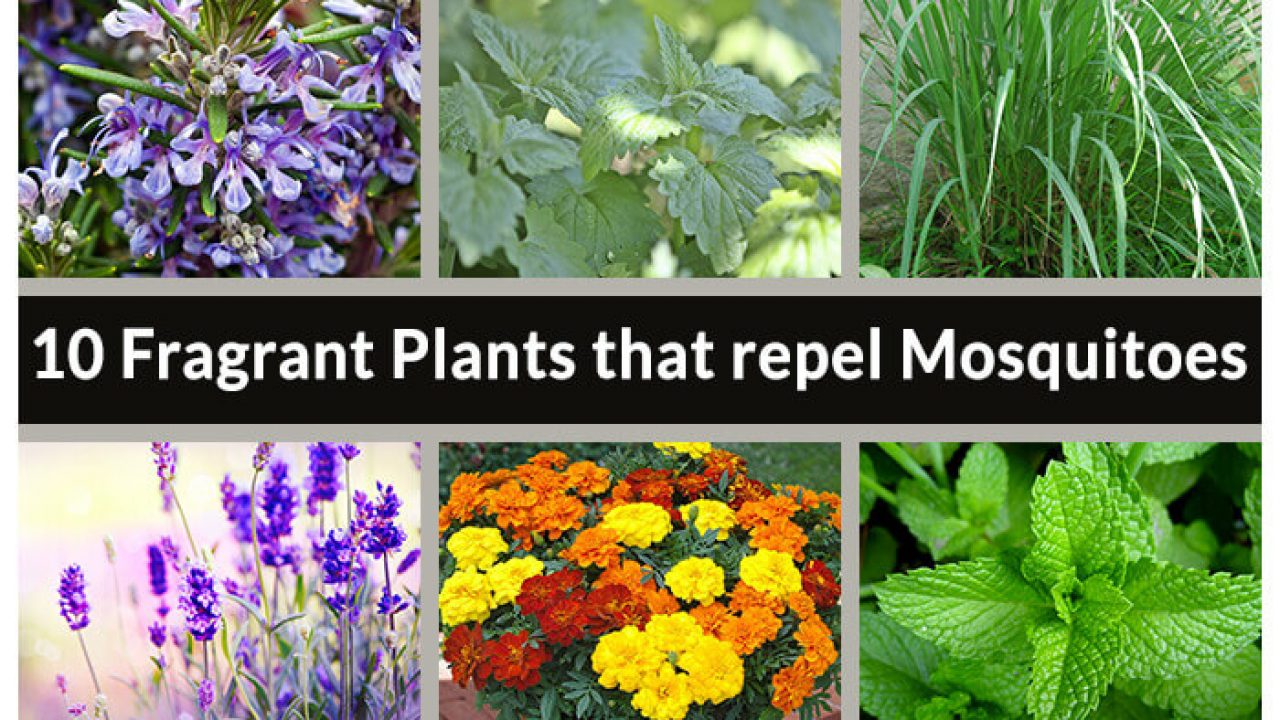 10 Fragrant Plants That Repel Mosquitoes Home Gardeners