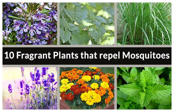 Garden Bush: 10 Fragrant Plants That Repel Mosquitoes