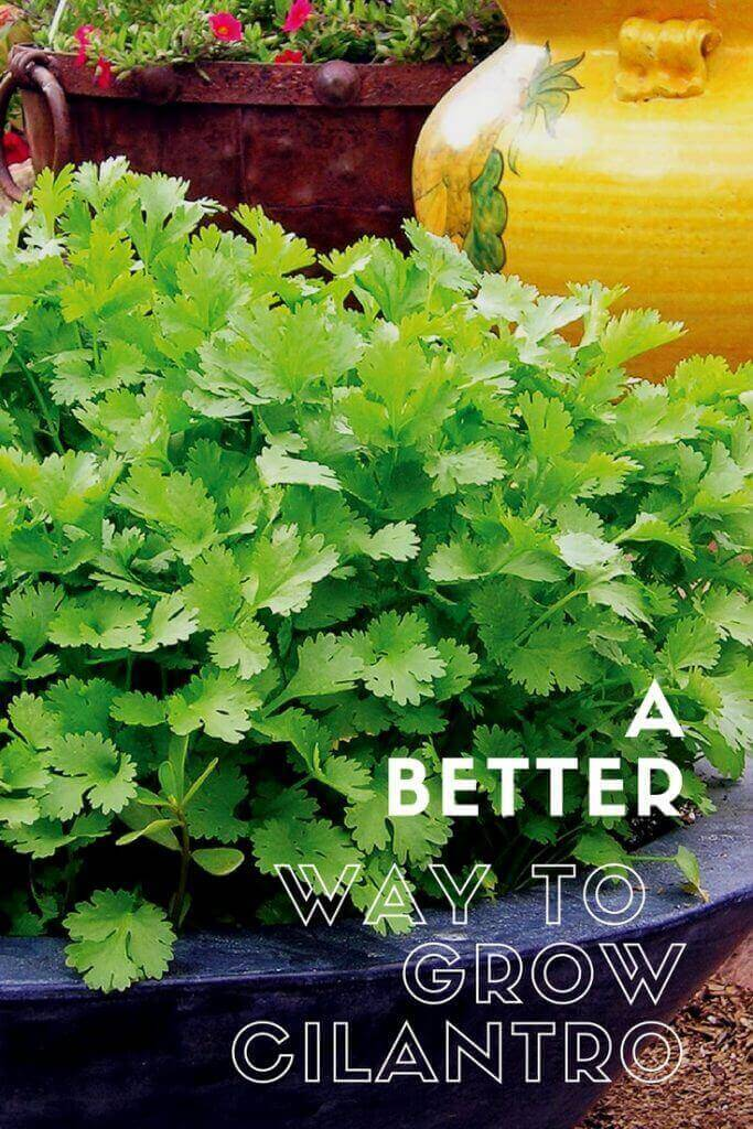 A Better Way to Grow Cilantro