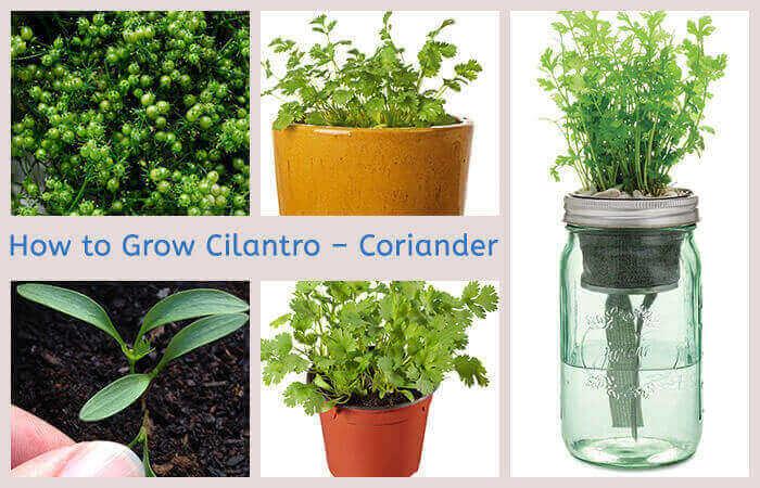 How to Grow Cilantro – Coriander