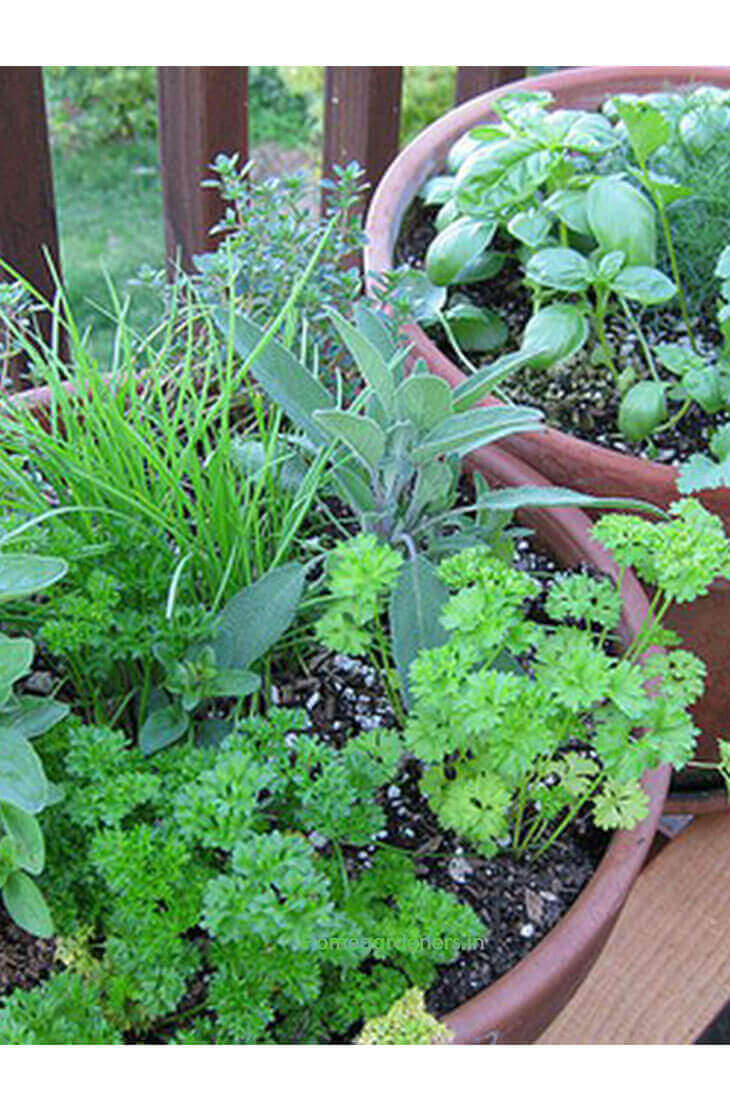 How to Grow Cilantro