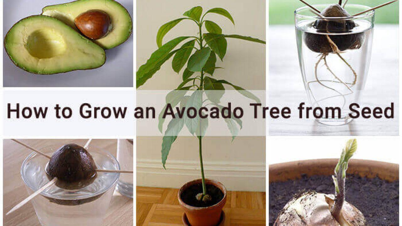How to Grow an Avocado Tree from Seed   Home Gardeners