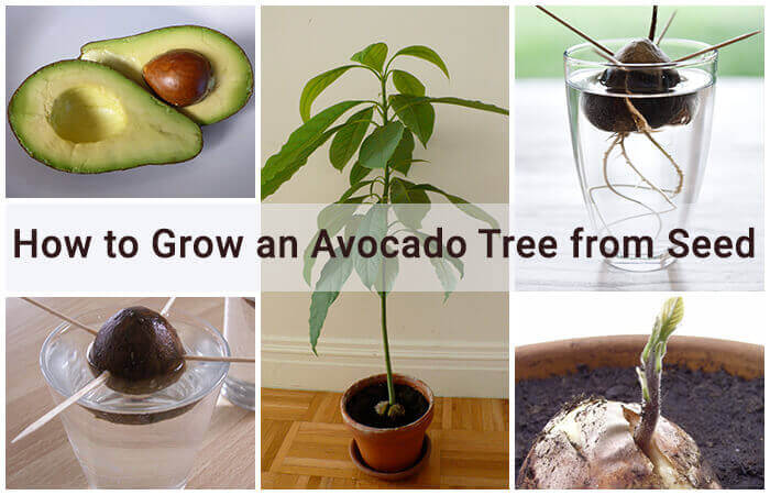 How To Make Your Avocado Seed Grow Faster