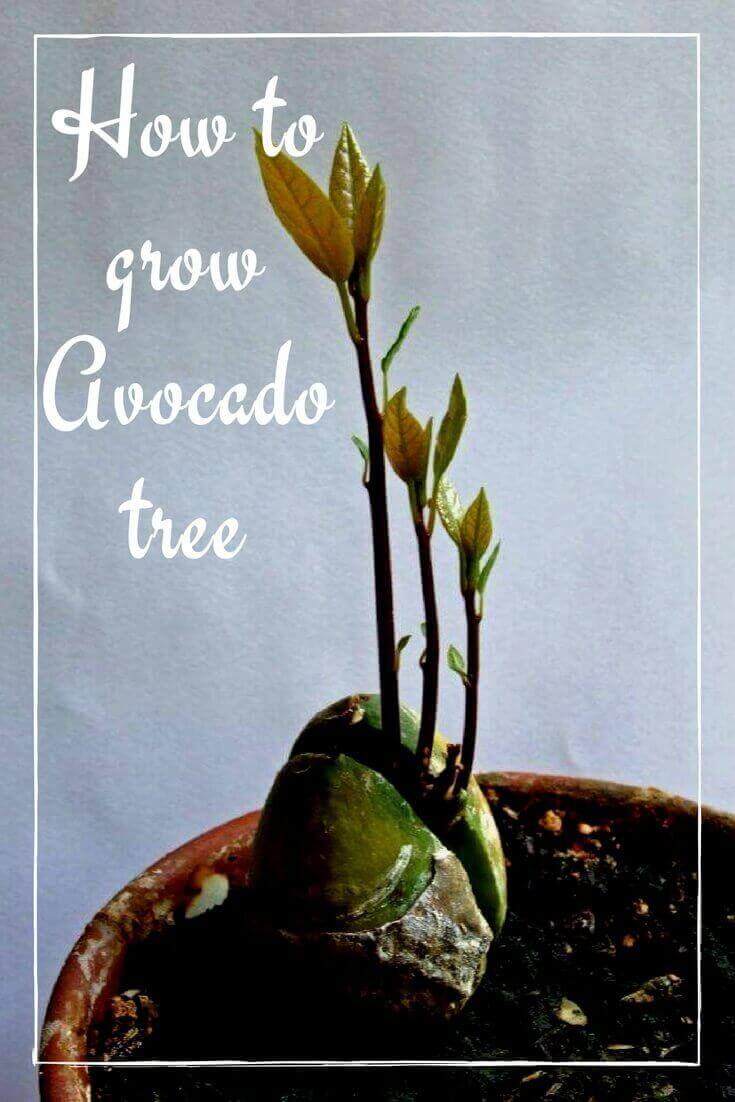 How to grow an An Avocado Tree