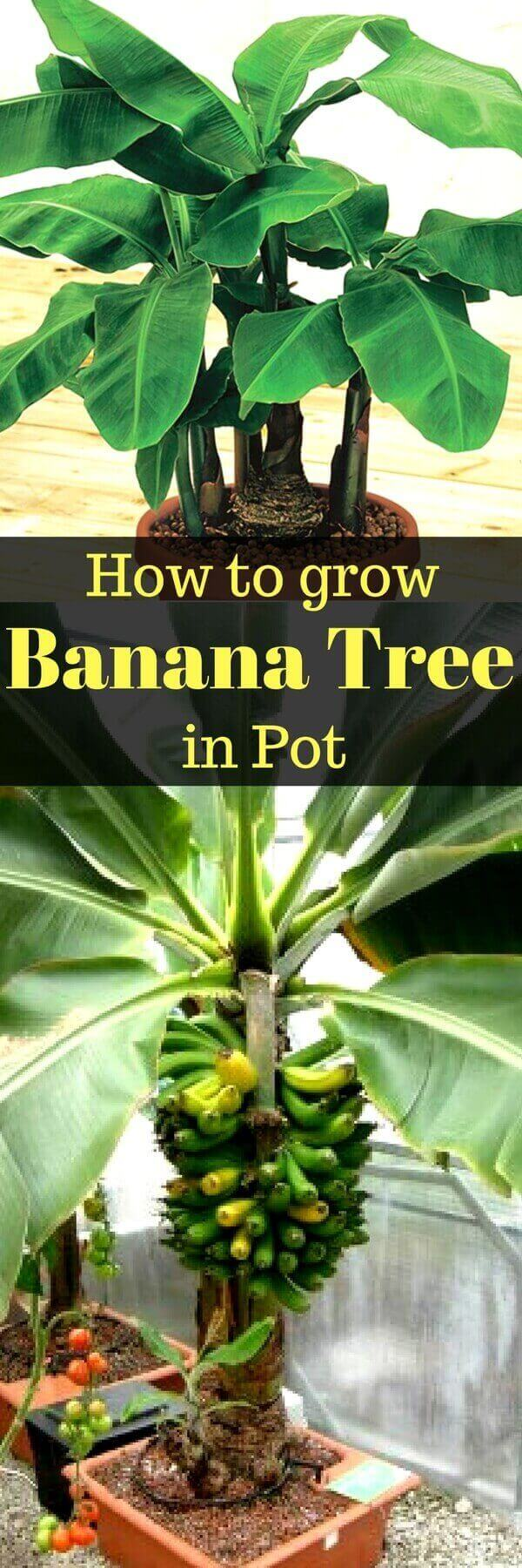 How to Grow Banana Tree in Pot