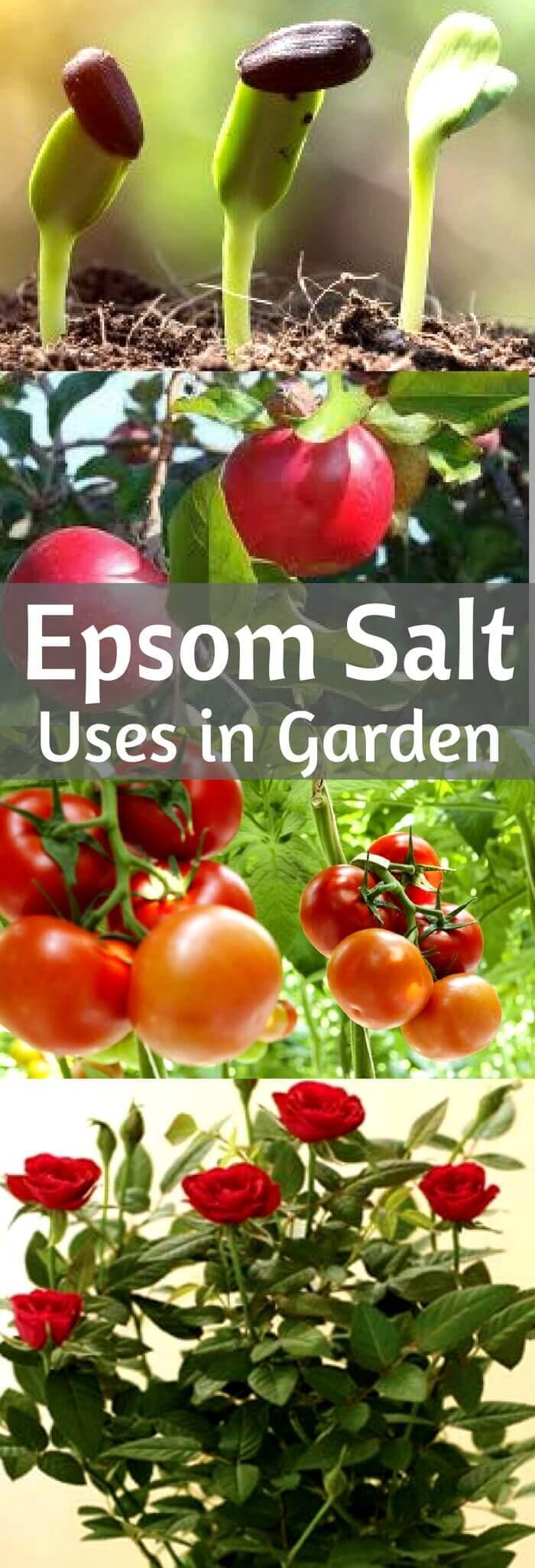 Epsom Salt uses in Garden