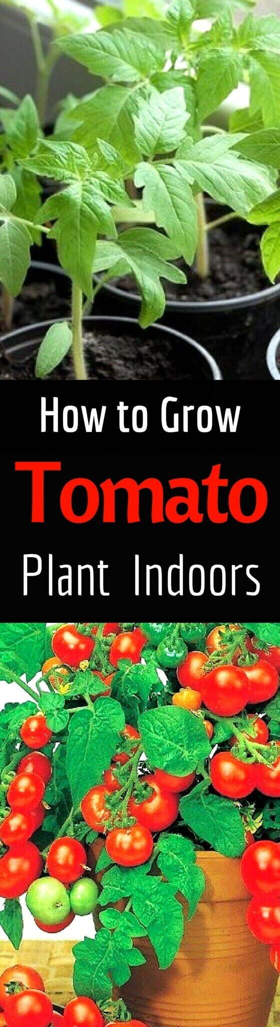 How to Grow Tomato Indoors