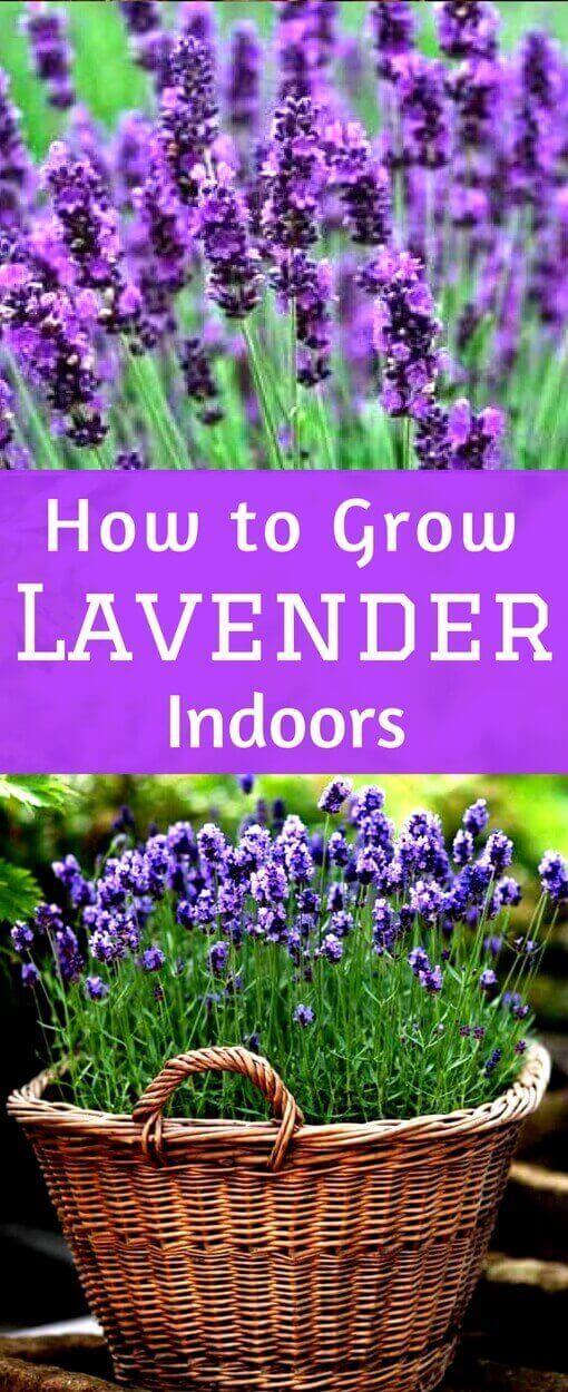 Lavender Plant Indoors