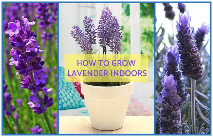 lavender plant indoors. Black Bedroom Furniture Sets. Home Design Ideas