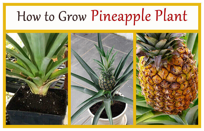 How to grow pineapple plant home gardeners for How do i plant a pineapple top