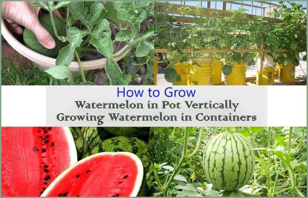 How to Grow Watermelon in Containers | Growing Watermelon in Pot Vertically