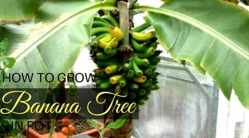 How To Grow Banana Tree In Pot Growing Banana Tree In