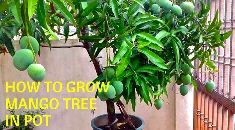 How To Grow Mango Tree in Pot?