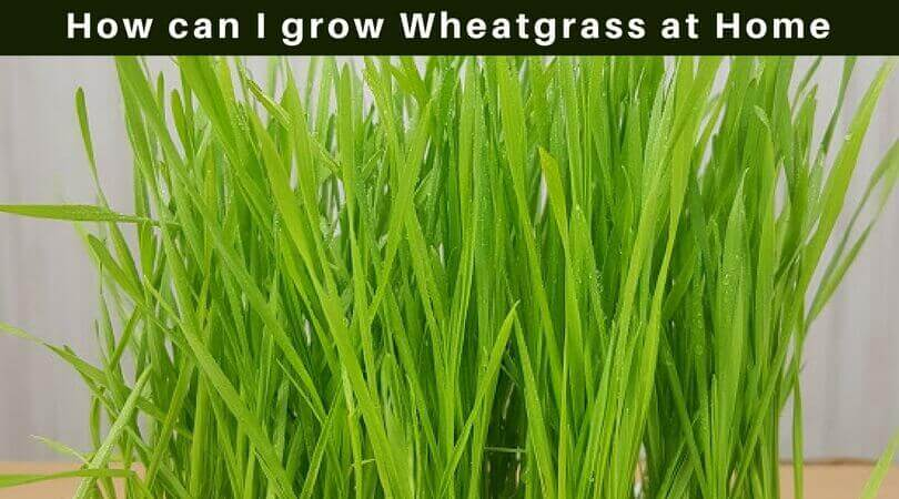 How Can I Grow Wheat Grass at Home