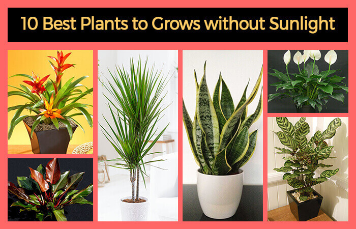 10 best plants that grows in shade without sunlight at for Office plants no natural light