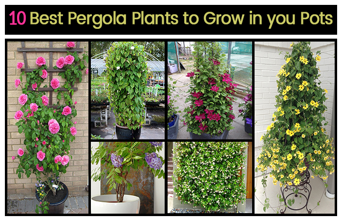 - Top 10 Pergola Plants To Grow Your Pots - Home Gardeners