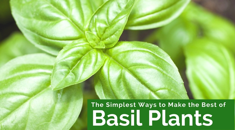 The Simplest Ways to Make the Best of Basil Plants