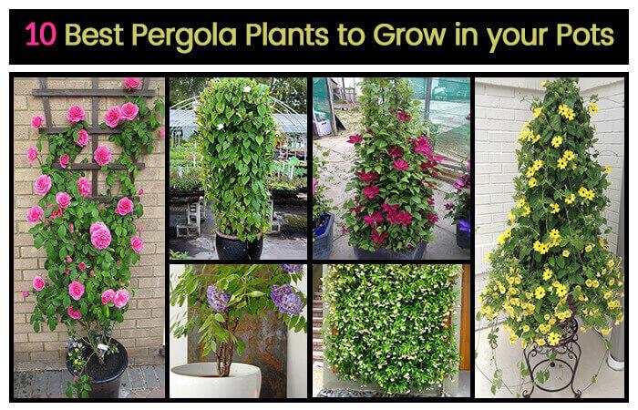 Top 10 Pergola Plants to Grow your Pots