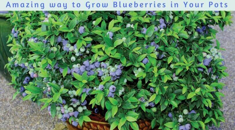 Amazing way to Grow Blueberries in Your Pots