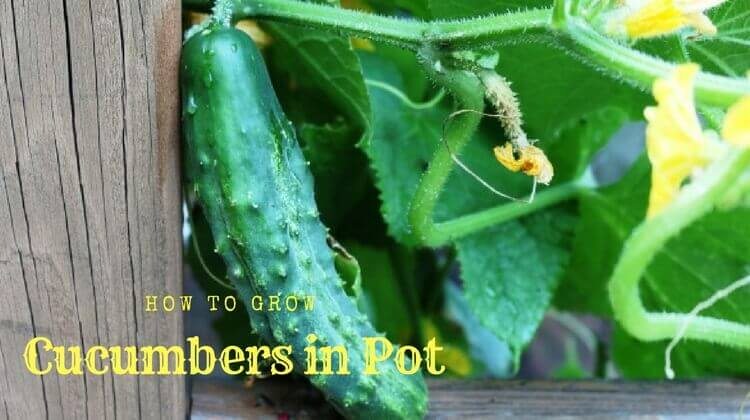 How to Grow Cucumbers in Pot | Growing Cucumbers in Containers
