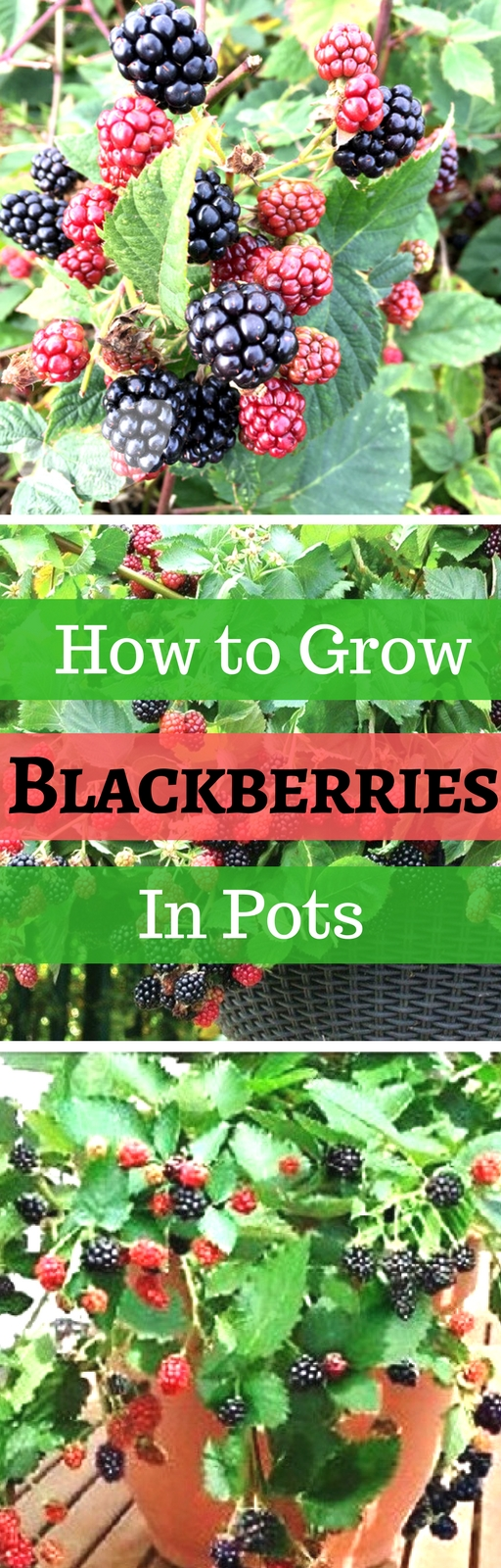 Best Ways to Increase the Productivity of Your Blackberry Plants
