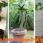 How to Grow Papaya Tree in a Pot