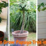 papaya grow in pot