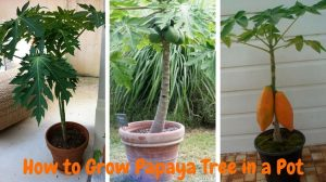 papaya grow in pot