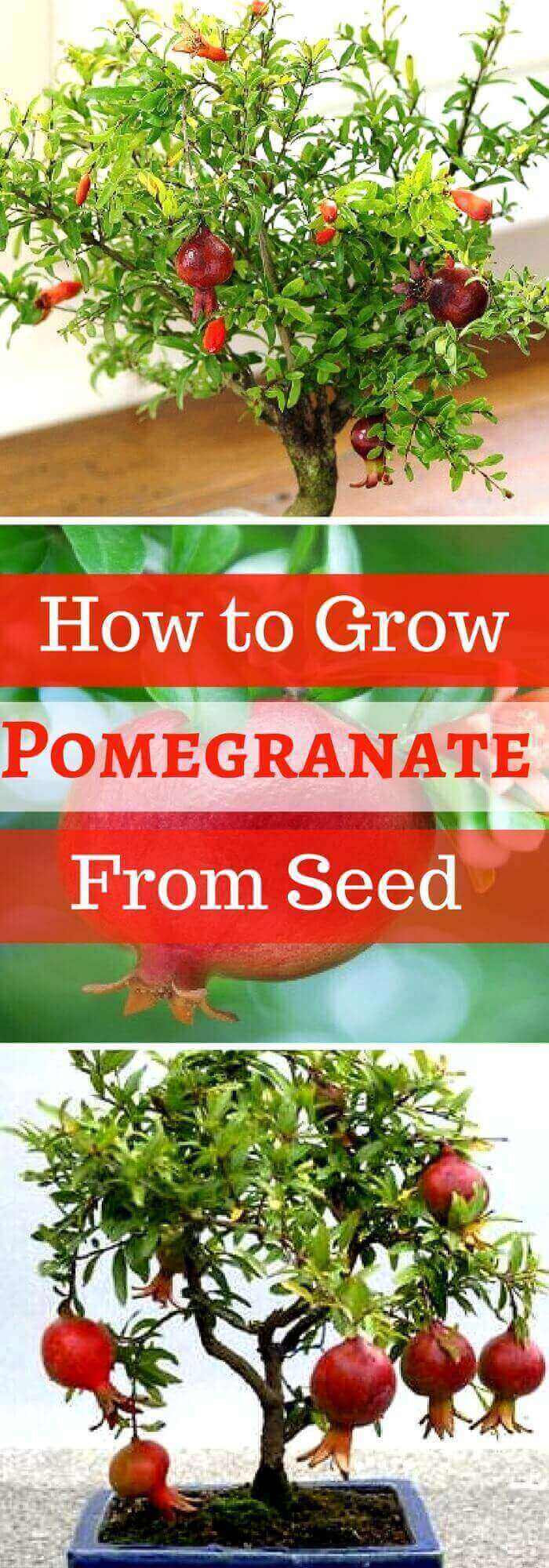 Step by Step Procedure for Growing Pomegranate Plant from Seed Indoors