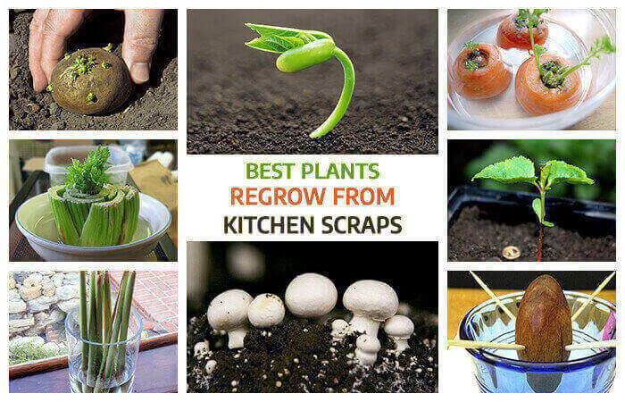 Best Fruits and Vegetables you can Regrow From Kitchen Scraps