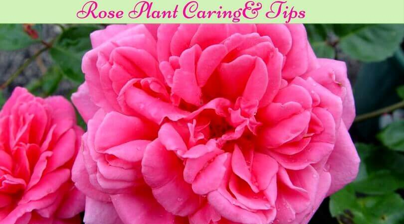 Roses in Your Garden | Can I Grow Roses in a Pot