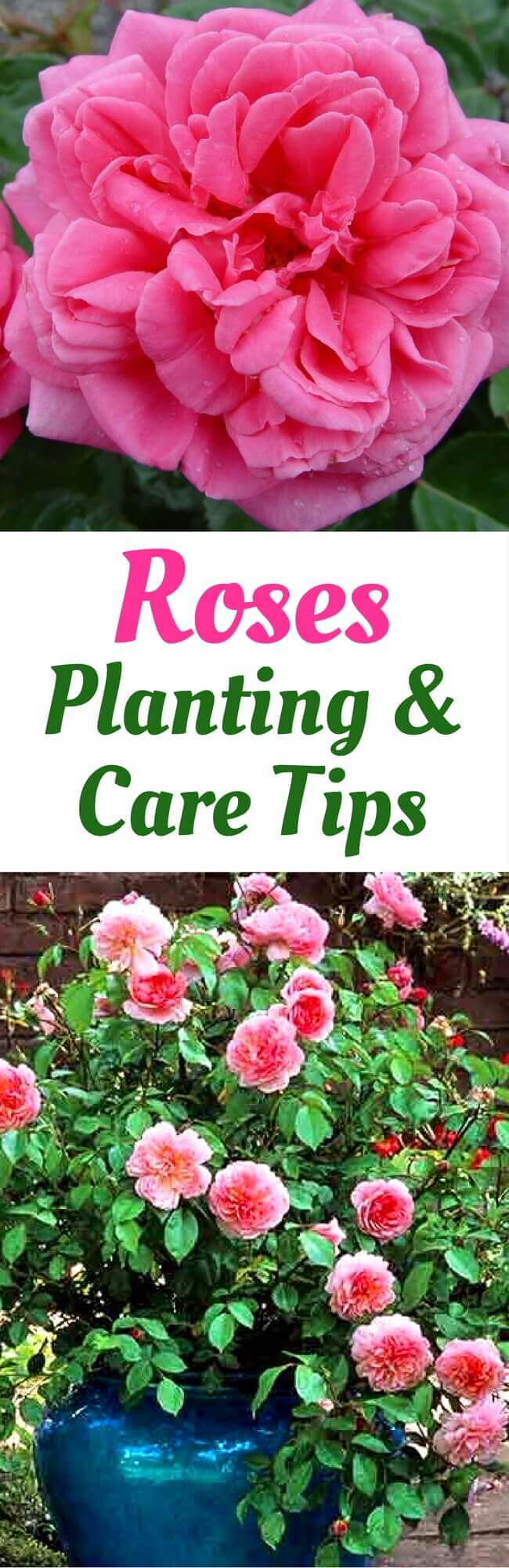 Can I Grow Rose Plant in Pot