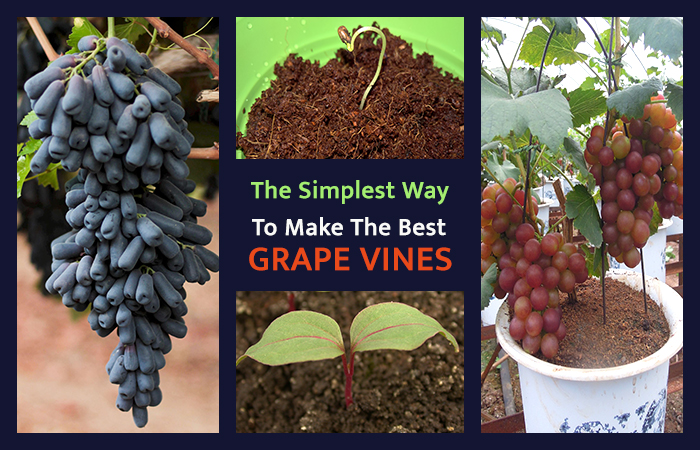 The Simplest Ways to Make the Best of Grape Vines