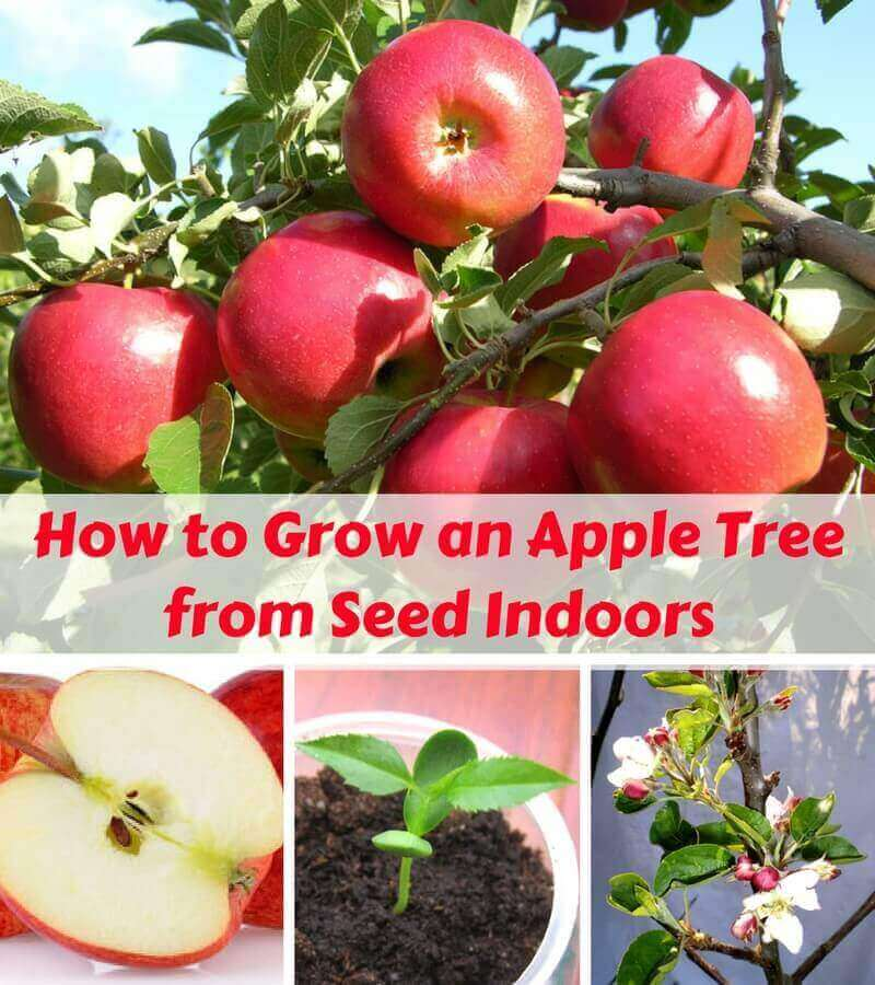How to Grow an Apple Tree from Seed Indoors