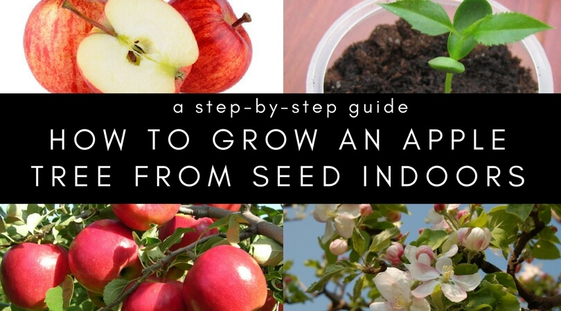 How to Grow an Apple Tree from Seed and Grafting