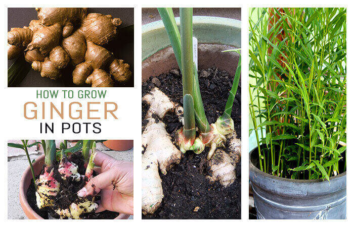 Best Ways for Ginger Plants Can Make You Rich