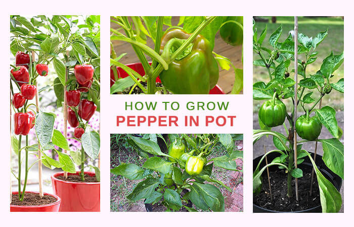 The simplest ways to make the best of bell pepper plants for Easy plants to grow in pots outside