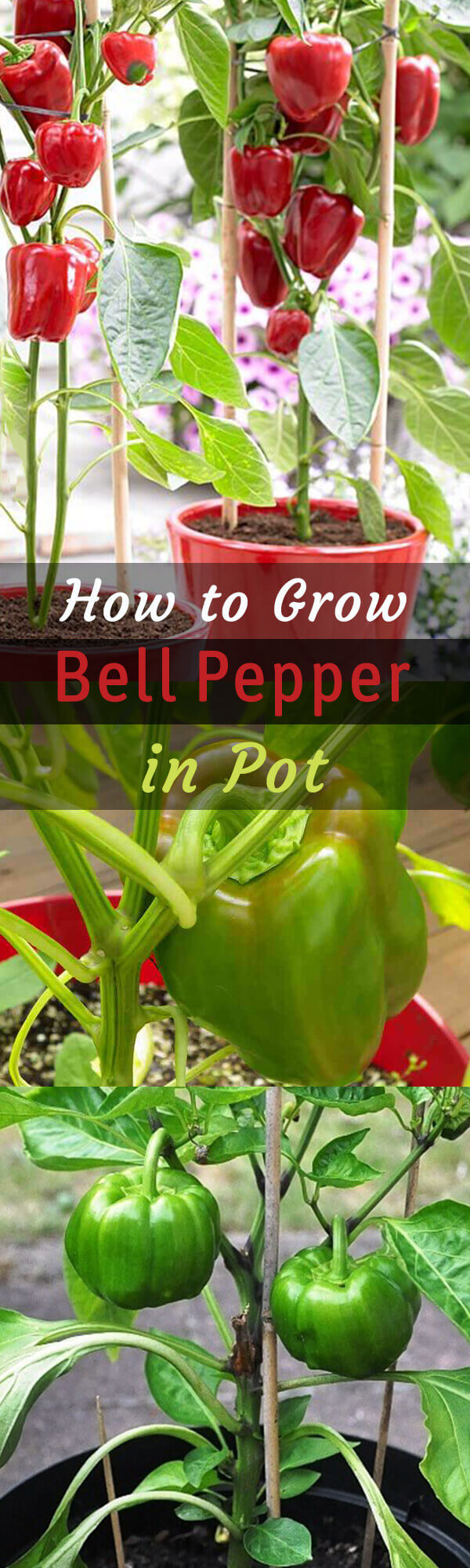 The Simplest Ways to Make the Best of Bell Pepper Plants