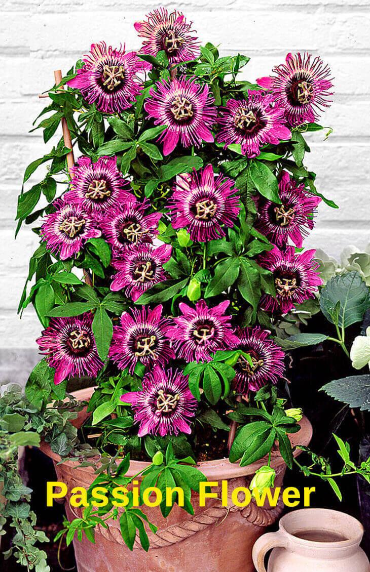Roses In Garden: Top 10 Pergola Plants To Grow Your Pots