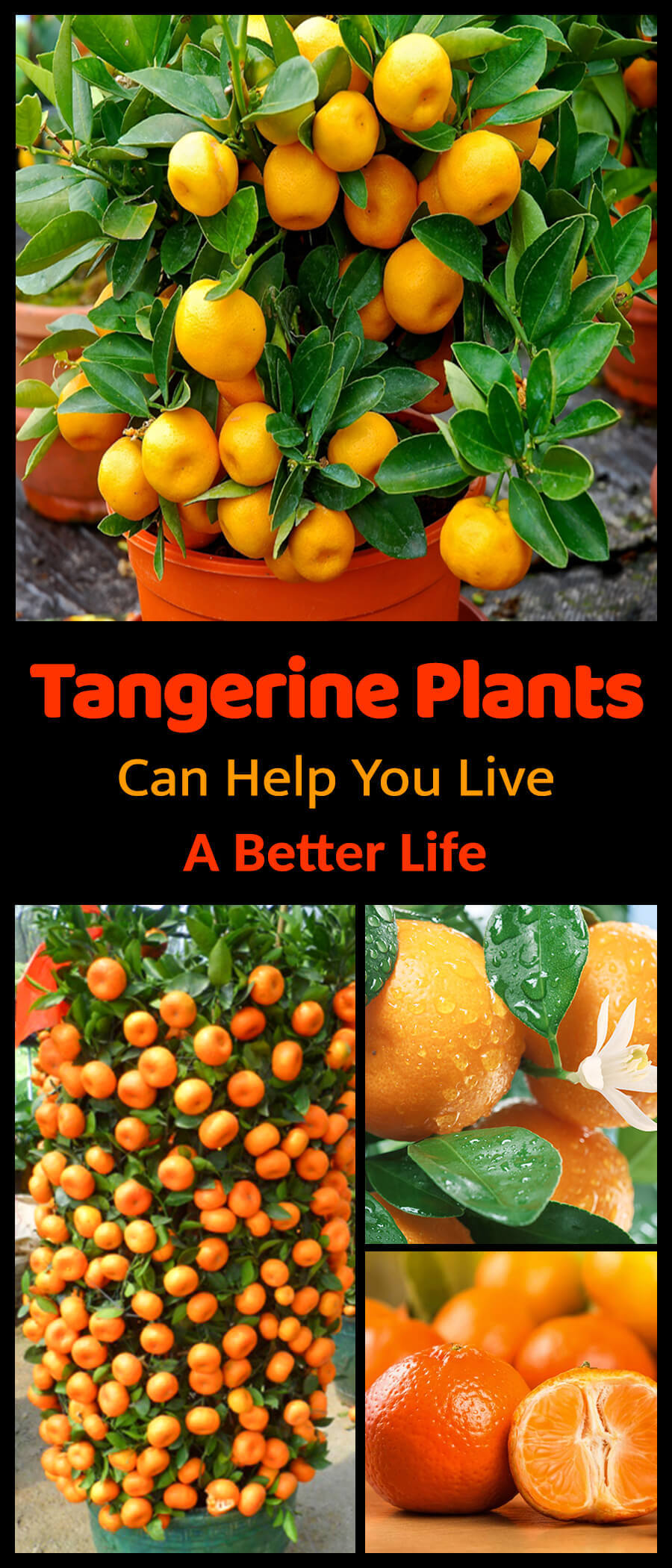 How Tangerine Plants Can Help You Live a Better Life