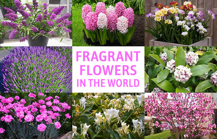 20 Best Beautiful Fragrant Flowers in the world - Home Gardeners