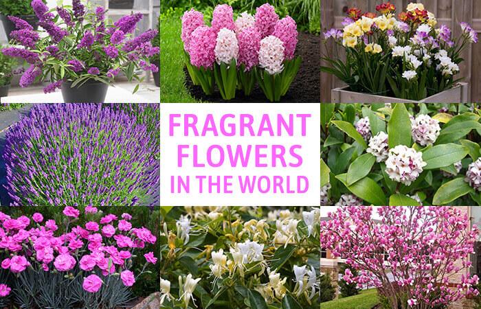 Garden Bush: 20 Best Beautiful Fragrant Flowers In The World