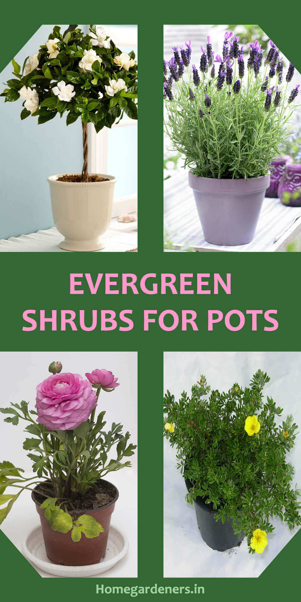 Best Evergreen Shrubs For Pots At Home Home Gardeners
