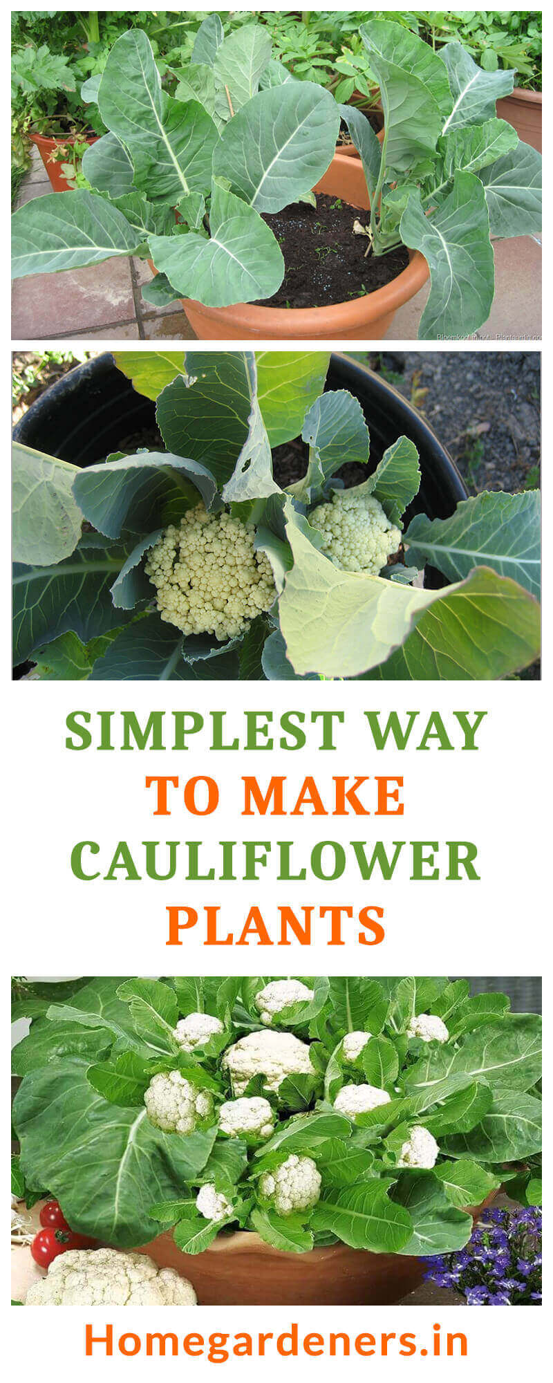 Simplest Way to Make the Best of White head Cauliflower Plants