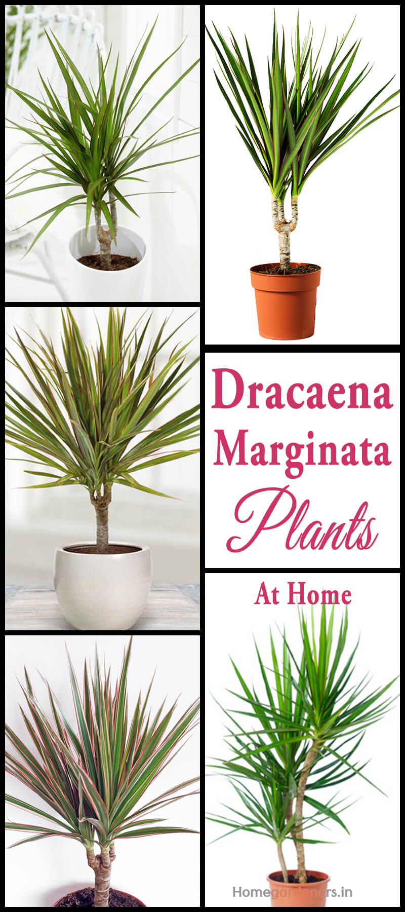 How do you Care for Dracaena Marginata Plant at Home