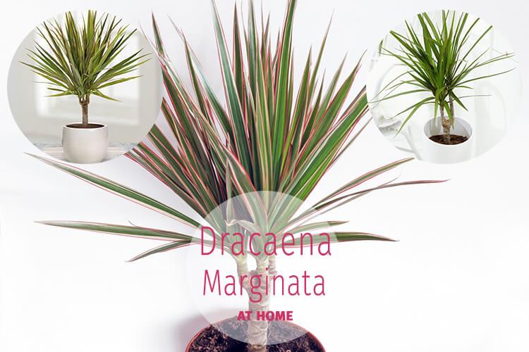 How do you Care for Dracaena Marginata Plant at Home