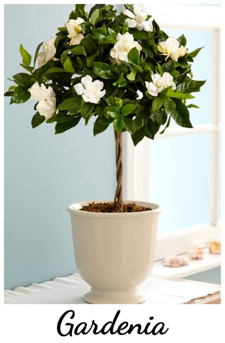 Best Evergreen Shrubs for Pots at Home