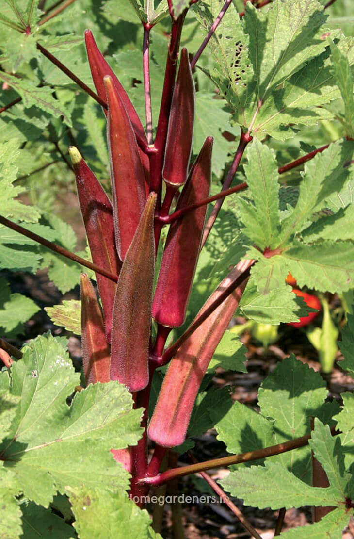 How to Grow Okra plants at Home