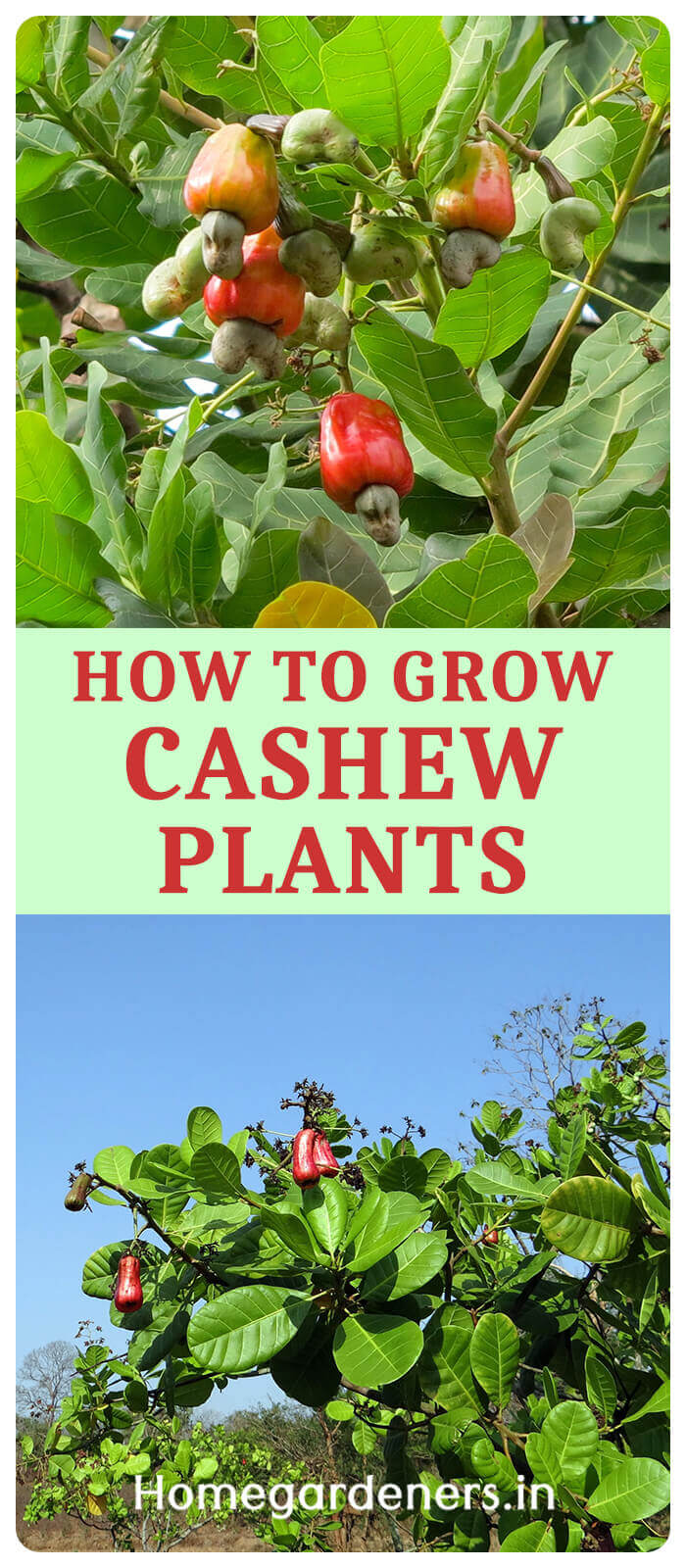 How Long does Hardy Cashew Nuts Grow from Seeds