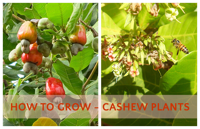 How Long does Hardy Cashew Nuts Grow from Seeds - Home ...
